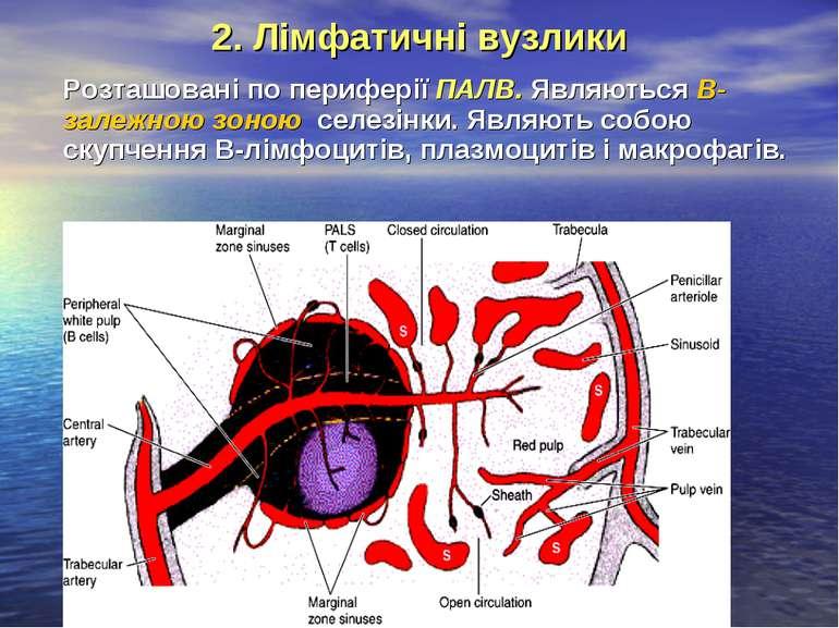 2. Лімфатичні вузлики Розташовані по периферії ПАЛВ. Являються В-залежною зон...