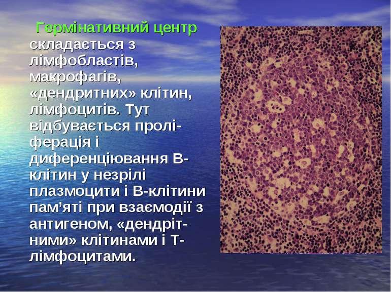 Гермінативний центр складається з лімфобластів, макрофагів, «дендритних» кліт...