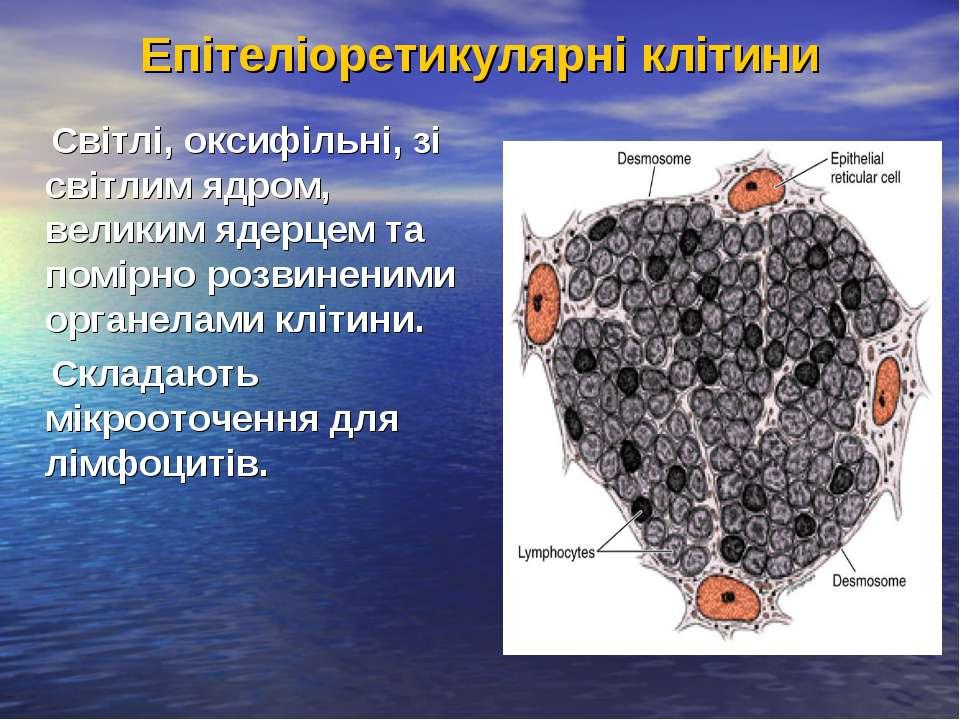 Епітеліоретикулярні клітини Світлі, оксифільні, зі світлим ядром, великим яде...