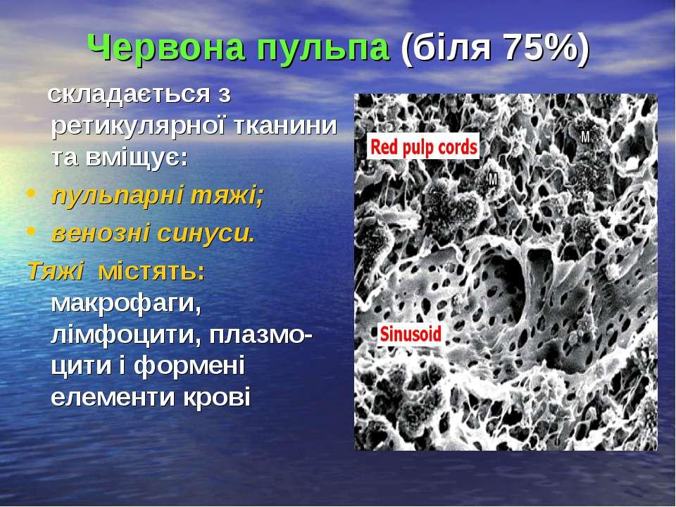 Червона пульпа (біля 75%) складається з ретикулярної тканини та вміщує: пульп...