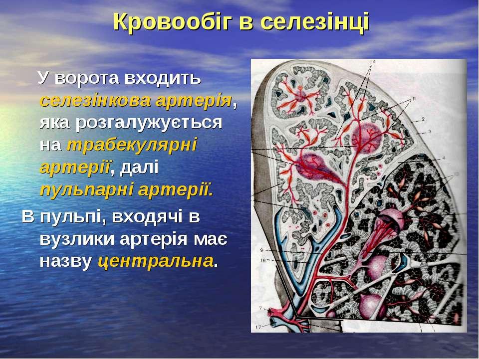 Кровообіг в селезінці У ворота входить селезінкова артерія, яка розгалужуєтьс...