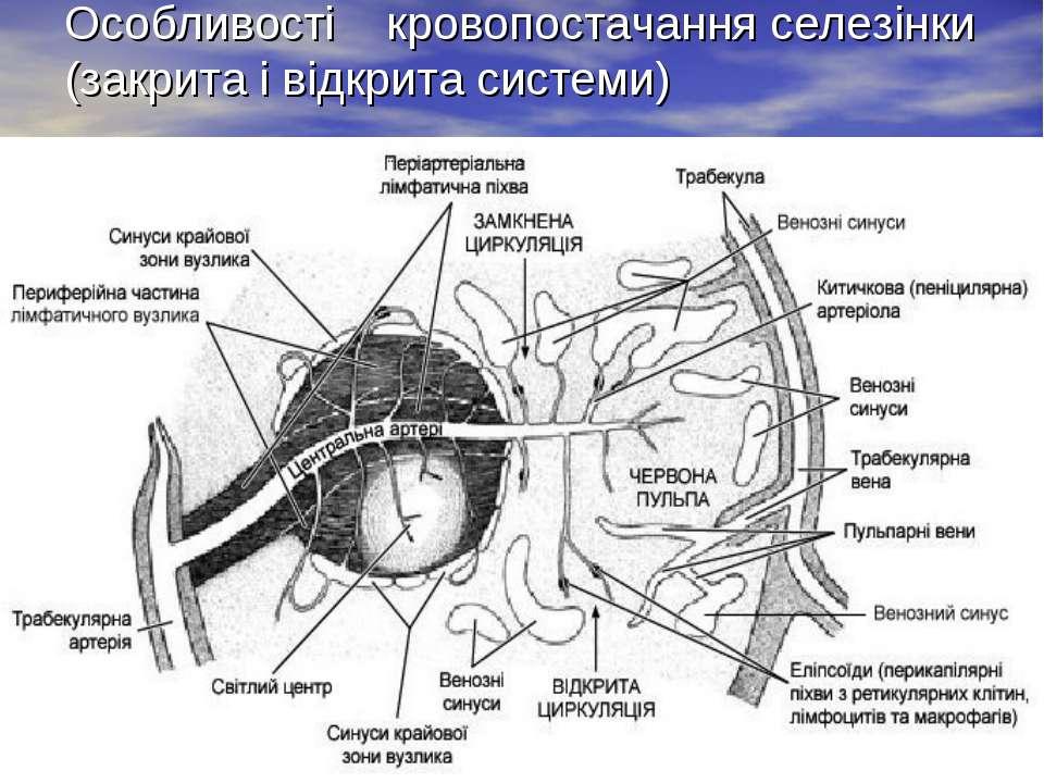 Особливості кровопостачання селезінки (закрита і відкрита системи)