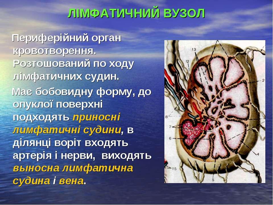 ЛІМФАТИЧНИЙ ВУЗОЛ Периферійний орган кровотворення. Розтошований по ходу лімф...