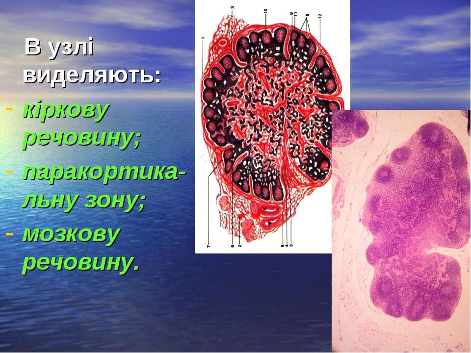 В узлі виделяють: кіркову речовину; паракортика-льну зону; мозкову речовину.