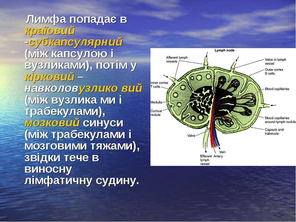 Лимфа попадає в країовий -субкапсулярний (між капсулою і вузликами), потім у ...