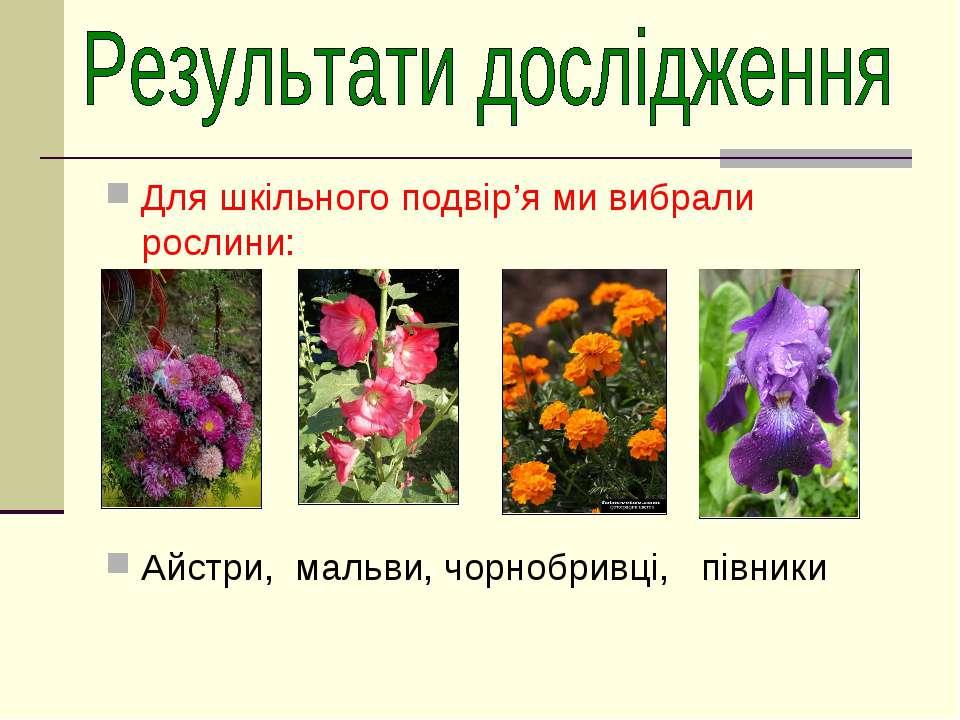 Для шкільного подвір'я ми вибрали рослини: Айстри, мальви, чорнобривці, півники