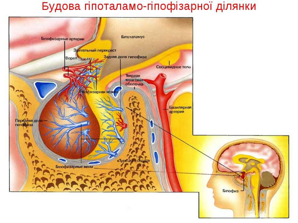 Будова гіпоталамо-гіпофізарної ділянки