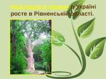 Найстаріше дерево в Україні росте в Рівненській області.
