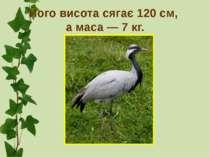 Його висота сягає 120 см, а маса — 7 кг.