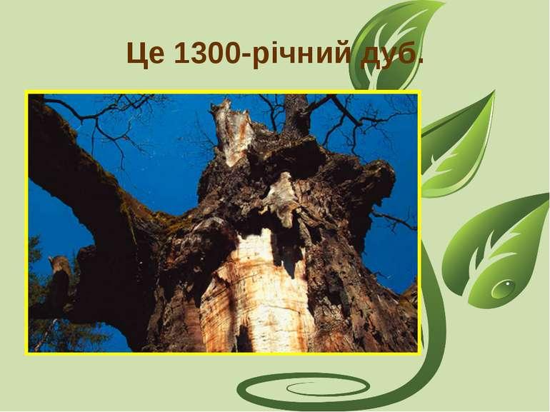 Це 1300-річний дуб.