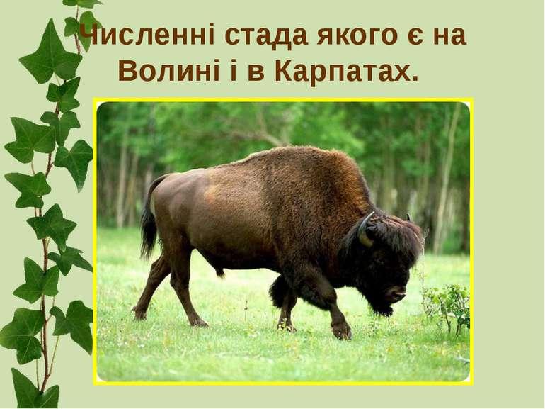 Численні стада якого є на Волині і в Карпатах.