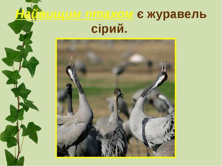 Найвищим птахом є журавель сірий.