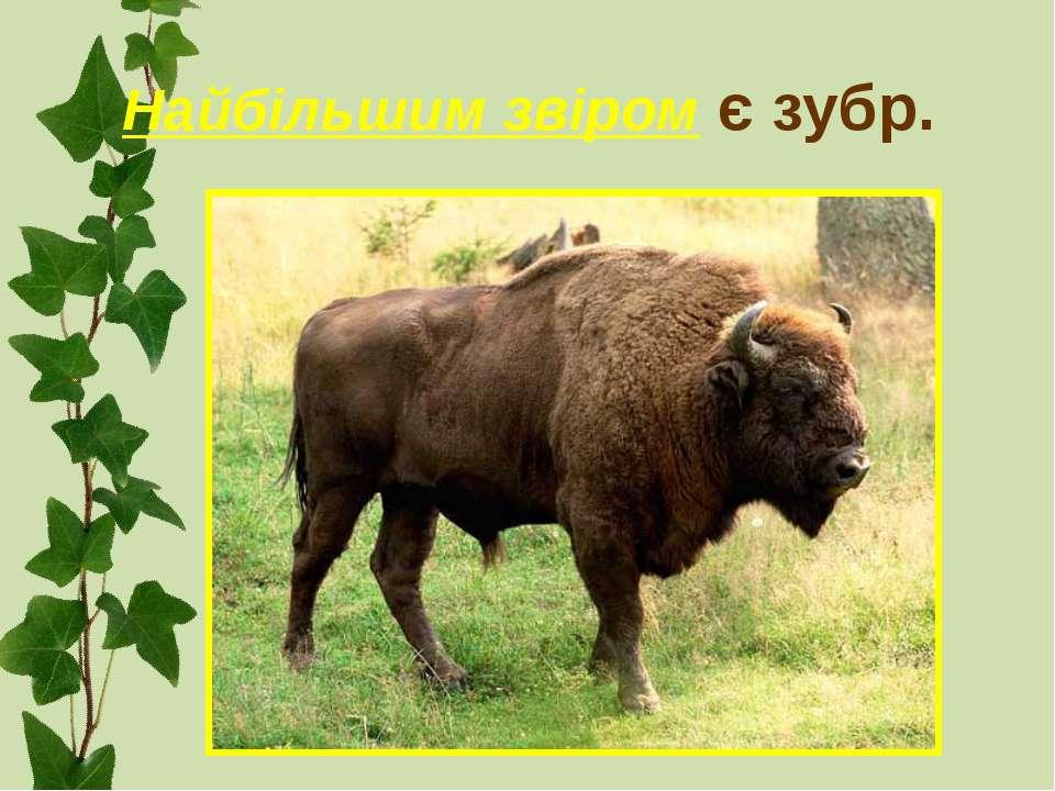 Найбільшим звіром є зубр.