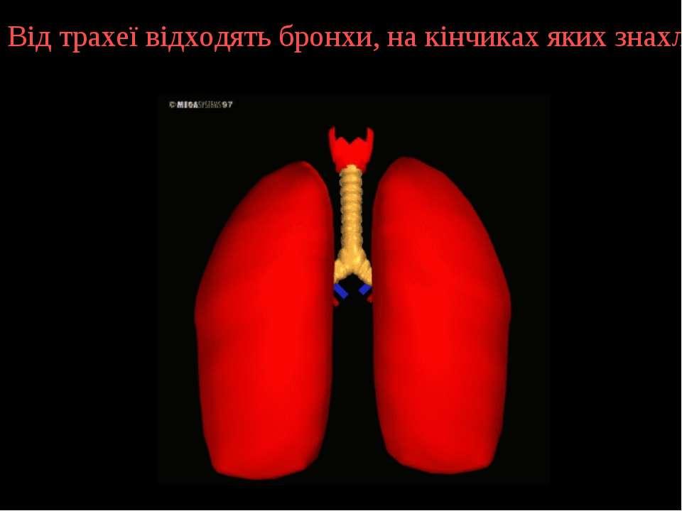 Від трахеї відходять бронхи, на кінчиках яких знахлодяться легеневі пухирці.