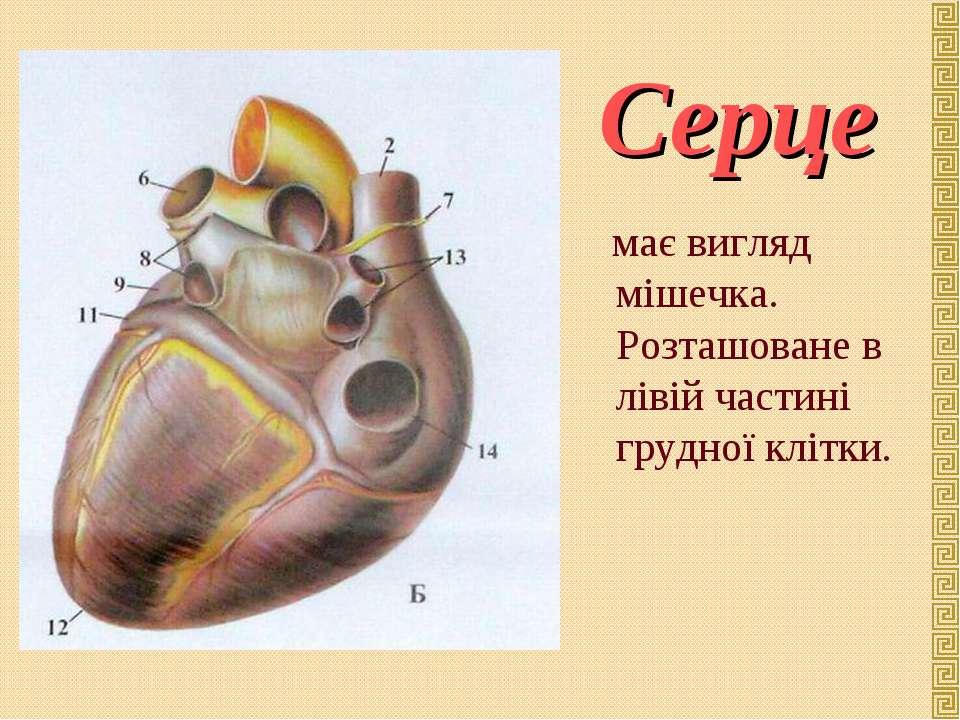 має вигляд мішечка. Розташоване в лівій частині грудної клітки. Серце