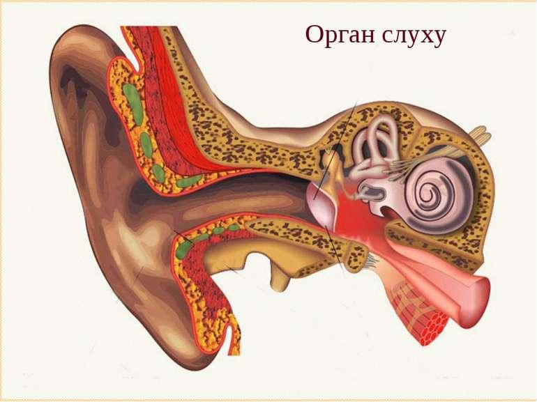 Орган слуху