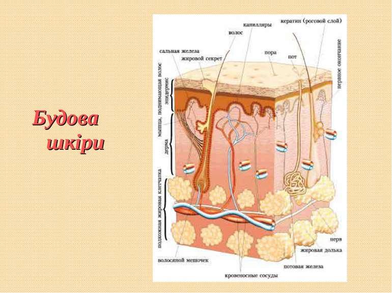 Будова шкіри