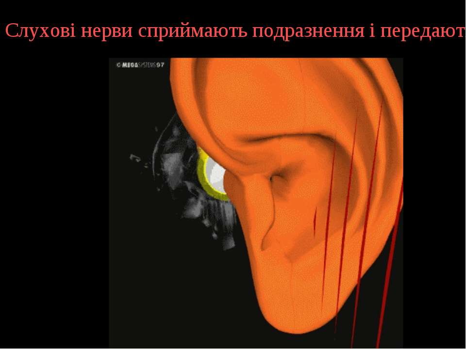 Слухові нерви сприймають подразнення і передають їх у головний мозок.