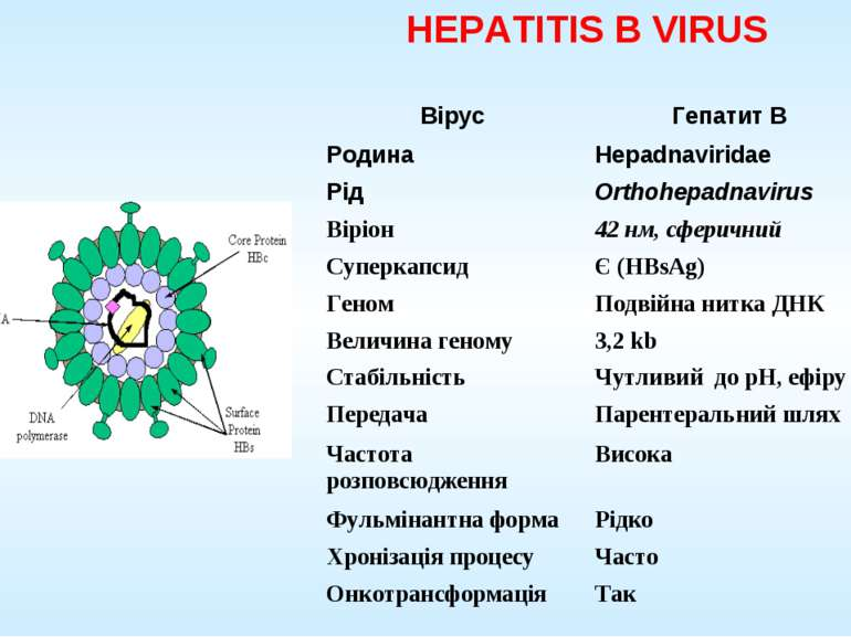 HEPATITIS B VIRUS Вірус Гепатит B Родина Hepadnaviridae Рід Orthohepadnavirus...