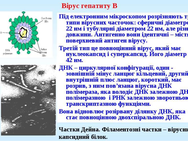 Вірус гепатиту В Під електронним мікроскопом розрізняють три типи вірусних ча...