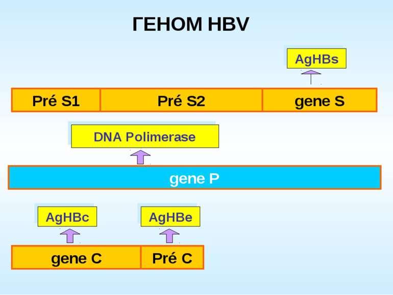 gene P AgHBe AgHBc AgHBs DNA Polimerase ГЕНОМ HBV