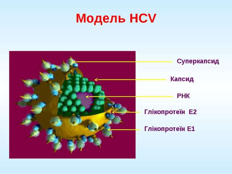 Модель HCV Суперкапсид Капсид РНК Глікопротеїн E2 Глікопротеїн E1