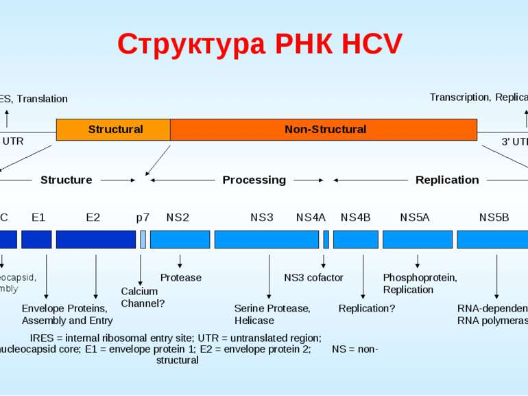 Структура РНК HCV Structural Non-Structural Structure Processing Replication ...
