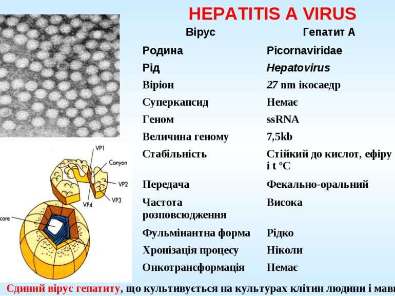 HEPATITIS A VIRUS Єдиний вірус гепатиту, що культивується на культурах клітин...