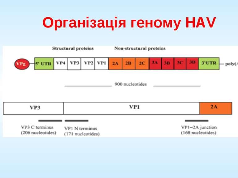 Організація геному HAV
