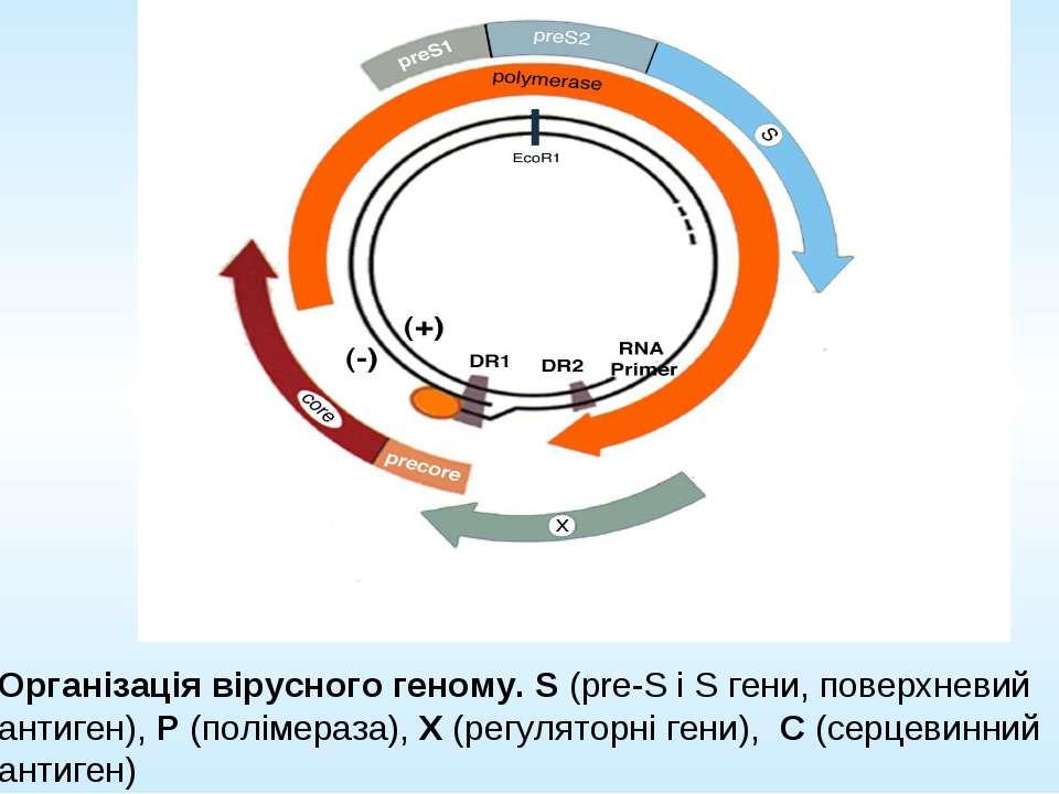 Організація вірусного геному. S (pre-S і S гени, поверхневий антиген), P (пол...
