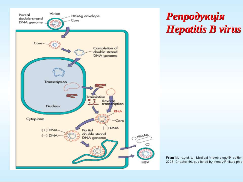 Репродукція Hepatitis B virus From Murray et. al., Medical Microbiology 5th e...