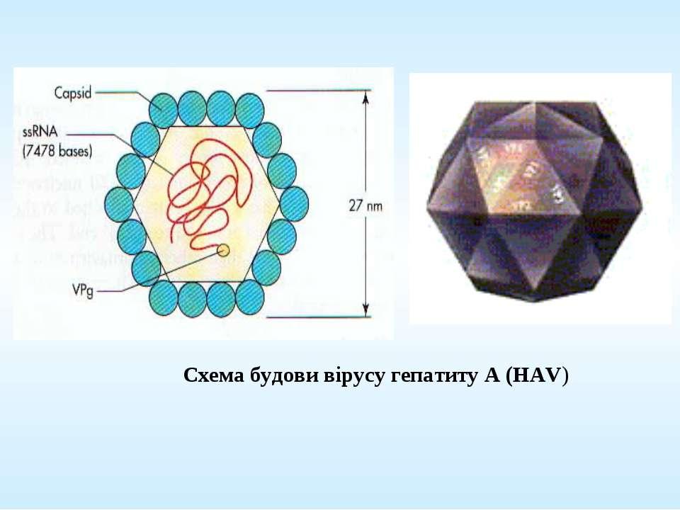 Схема будови вірусу гепатиту А (HAV)