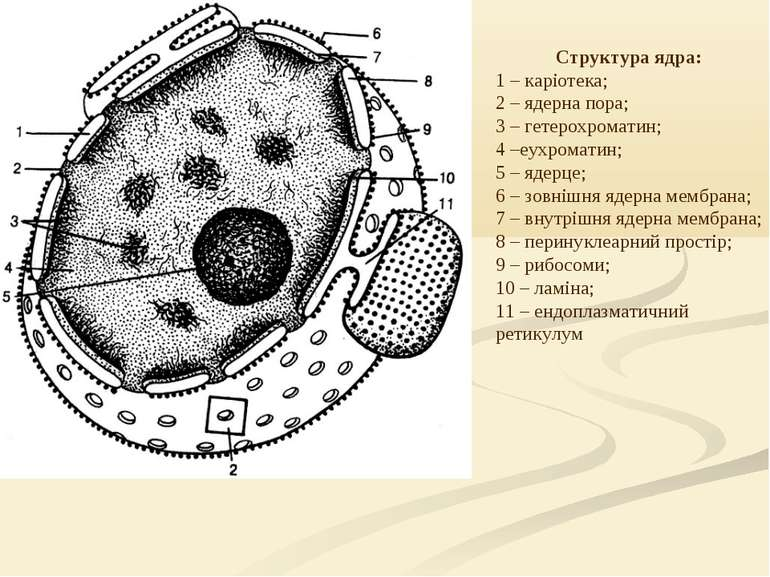 Структура ядра: 1 – каріотека; 2 – ядерна пора; 3 – гетерохроматин; 4 –еухром...