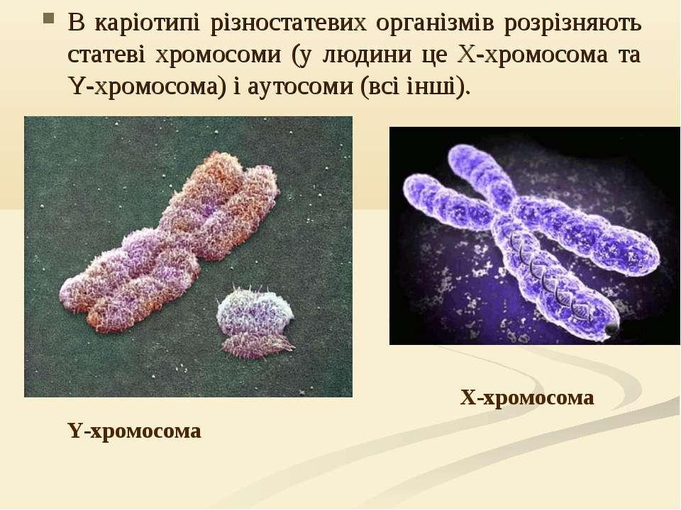 В каріотипі різностатевих організмів розрізняють статеві хромосоми (у людини ...
