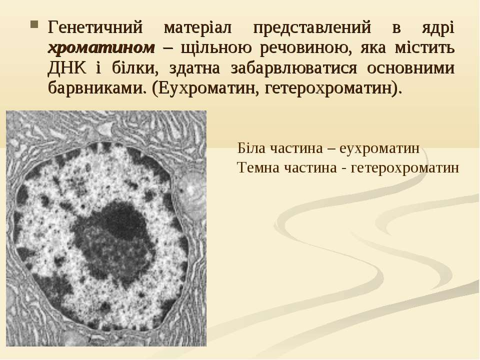 Генетичний матеріал представлений в ядрі хроматином – щільною речовиною, яка ...