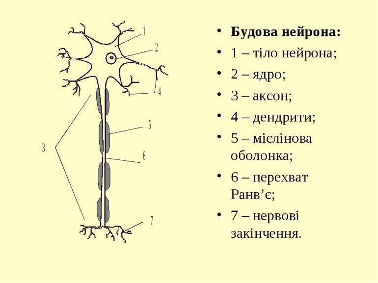 Будова нейрона: 1 – тіло нейрона; 2 – ядро; 3 – аксон; 4 – дендрити; 5 – мієл...