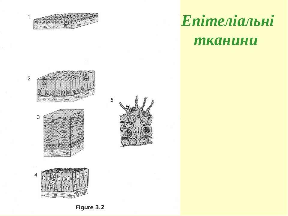 Епітеліальні тканини