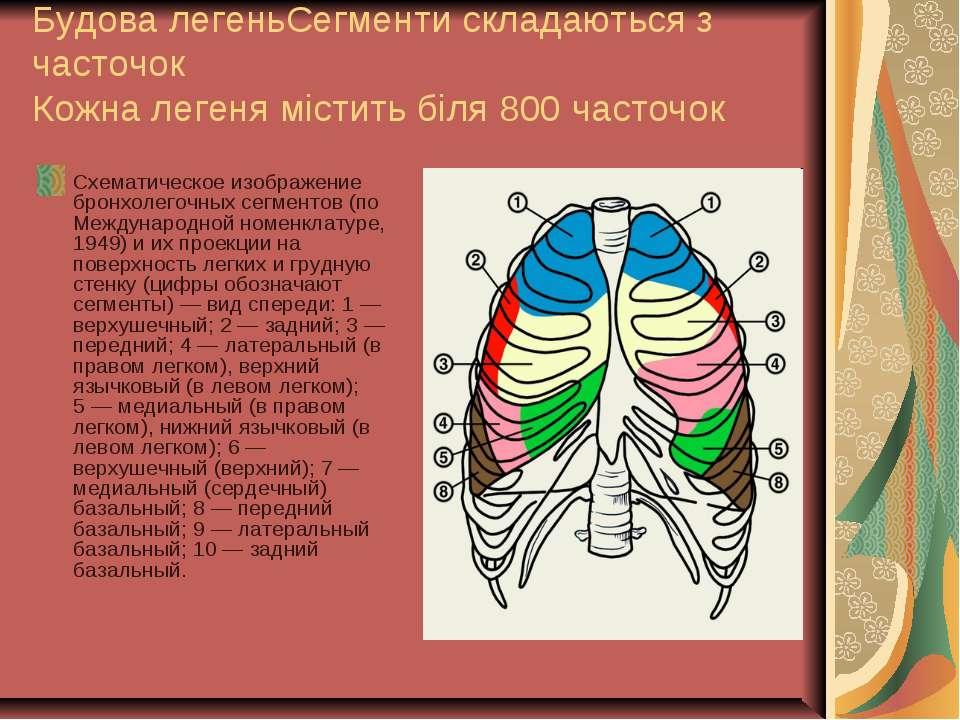 Будова легеньСегменти складаються з часточок Кожна легеня містить біля 800 ча...