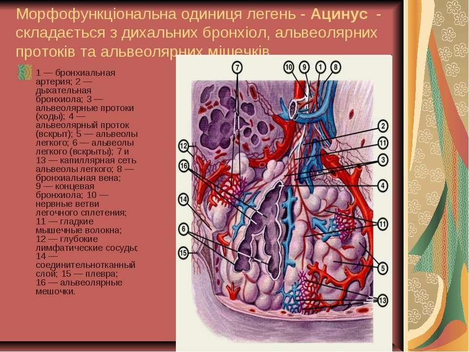 Морфофункціональна одиниця легень - Ацинус - складається з дихальних бронхіол...