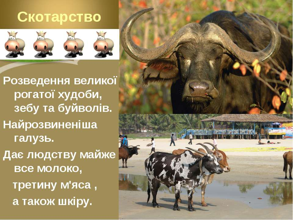 Розведення великої рогатої худоби, зебу та буйволів. Найрозвиненіша галузь. Д...