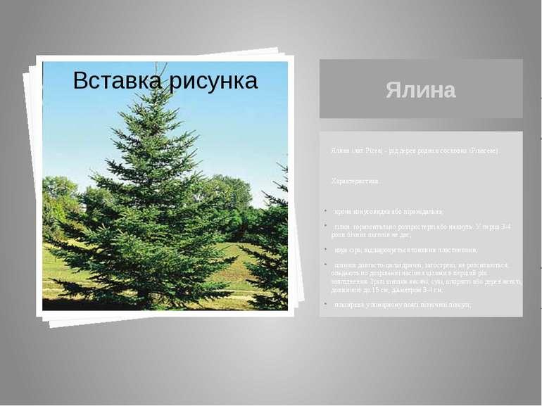 Ялина Ялина (лат. Pícea) - рід дерев родини соснових (Pinaceae). Характеристи...