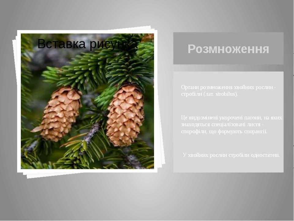 Розмноження Органи розмноження хвойних рослин - стробіли (лат. strobilus). Це...