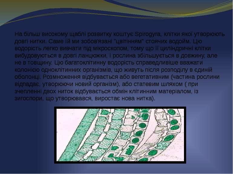 На більш високому щаблі розвитку коштує Spirogyra, клітки якої утворюють довг...