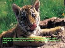 Здатними до самостійного життя молоді тигри стають у віці приблизно 18 місяці...