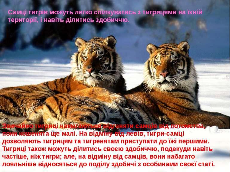 Самці тигрів можуть легко спілкуватись з тигрицями на їхній території, і наві...