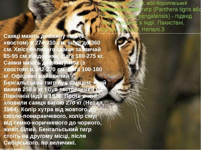 Бенгальський тигр, або Королівський бенгальський тигр (Panthera tigris або Pa...