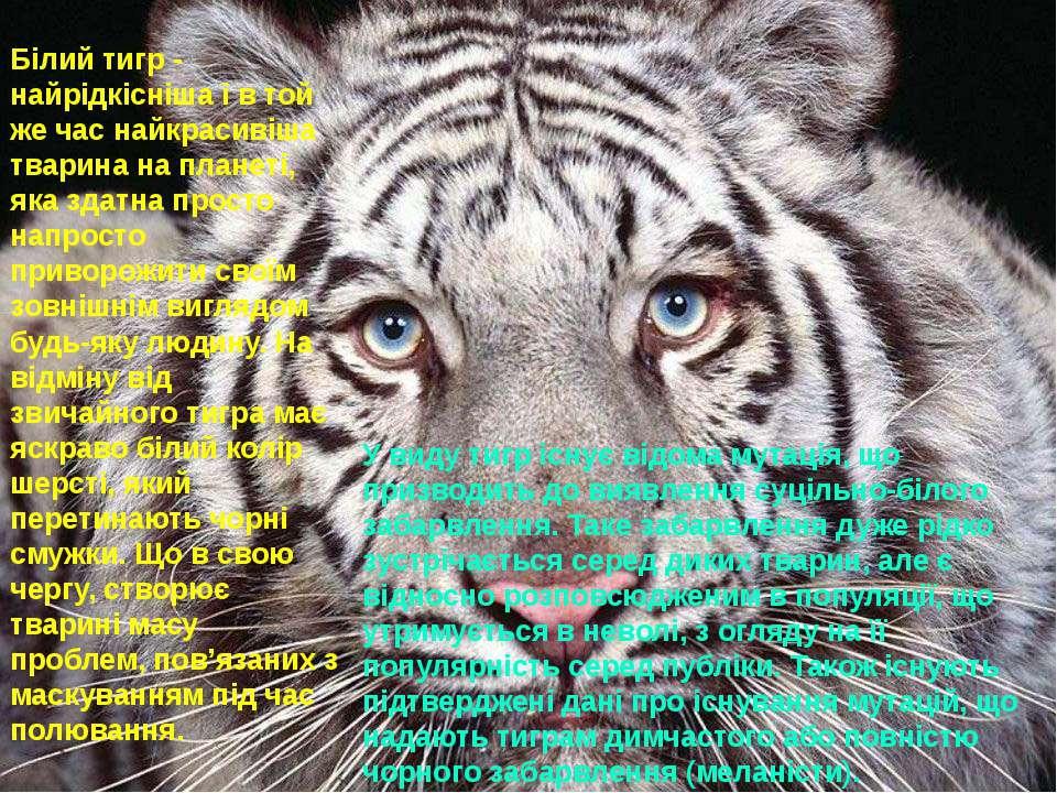 Білий тигр - найрідкісніша і в той же час найкрасивіша тварина на планеті, як...