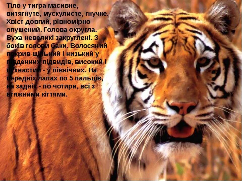 Тіло у тигра масивне, витягнуте, мускулисте, гнучке. Хвіст довгий, рівномірно...
