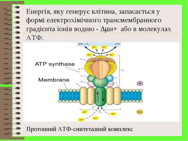 Енергія, яку генерує клітина, запасається у формі електрохімічного трансмембр...
