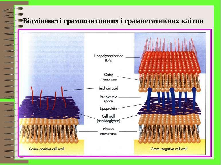 Відмінності грампозитивних і грамнегативних клітин
